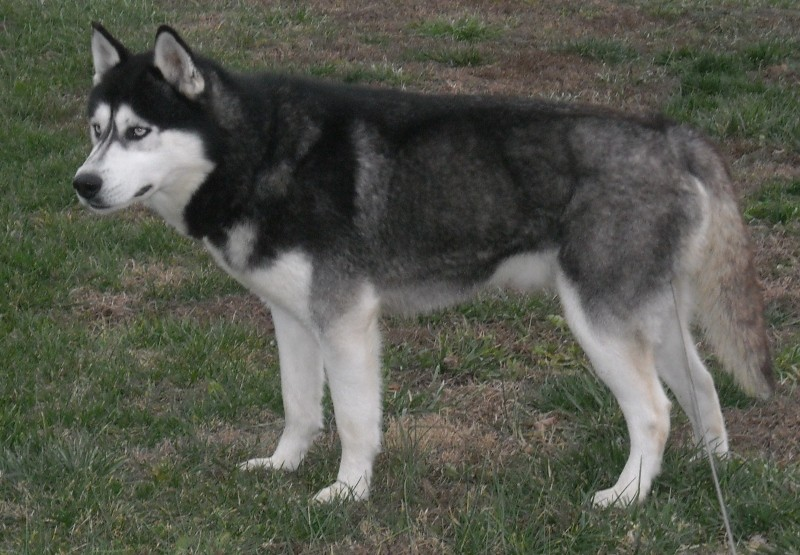 White Siberian Husky Puppy With Blue Eyes For Sale