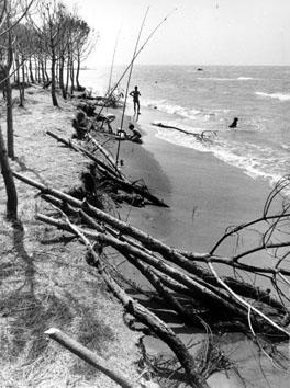 Viterbo, Agosto 1979 - San Giorgio, erosione marina, alberi franati sulla spiaggia