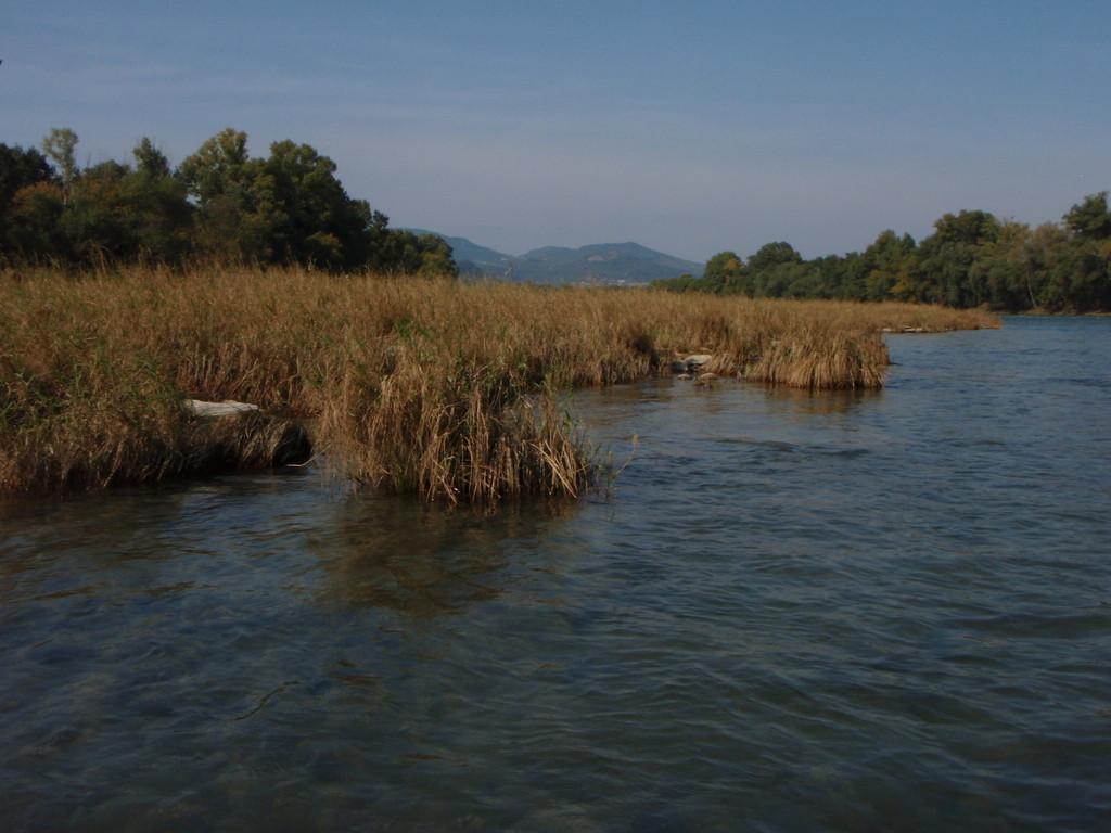 Roselière en face de l'embouchure du Roubion