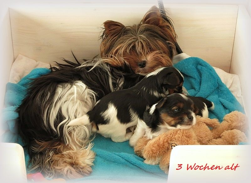 Biewer Yorkshire Terrier Welpen