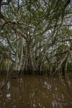 Imagen del Amazonas donde llega el agua en uno los bosques que se inundan periódicamente llamados várzeas. / © Ximo Fernández