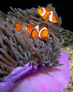 Peces payaso (Amphiprion ocellaris) en una anémona púrpura (Heteractis magnifica) en Timor Oriental.  Foto: (cc) Wikipedia.org