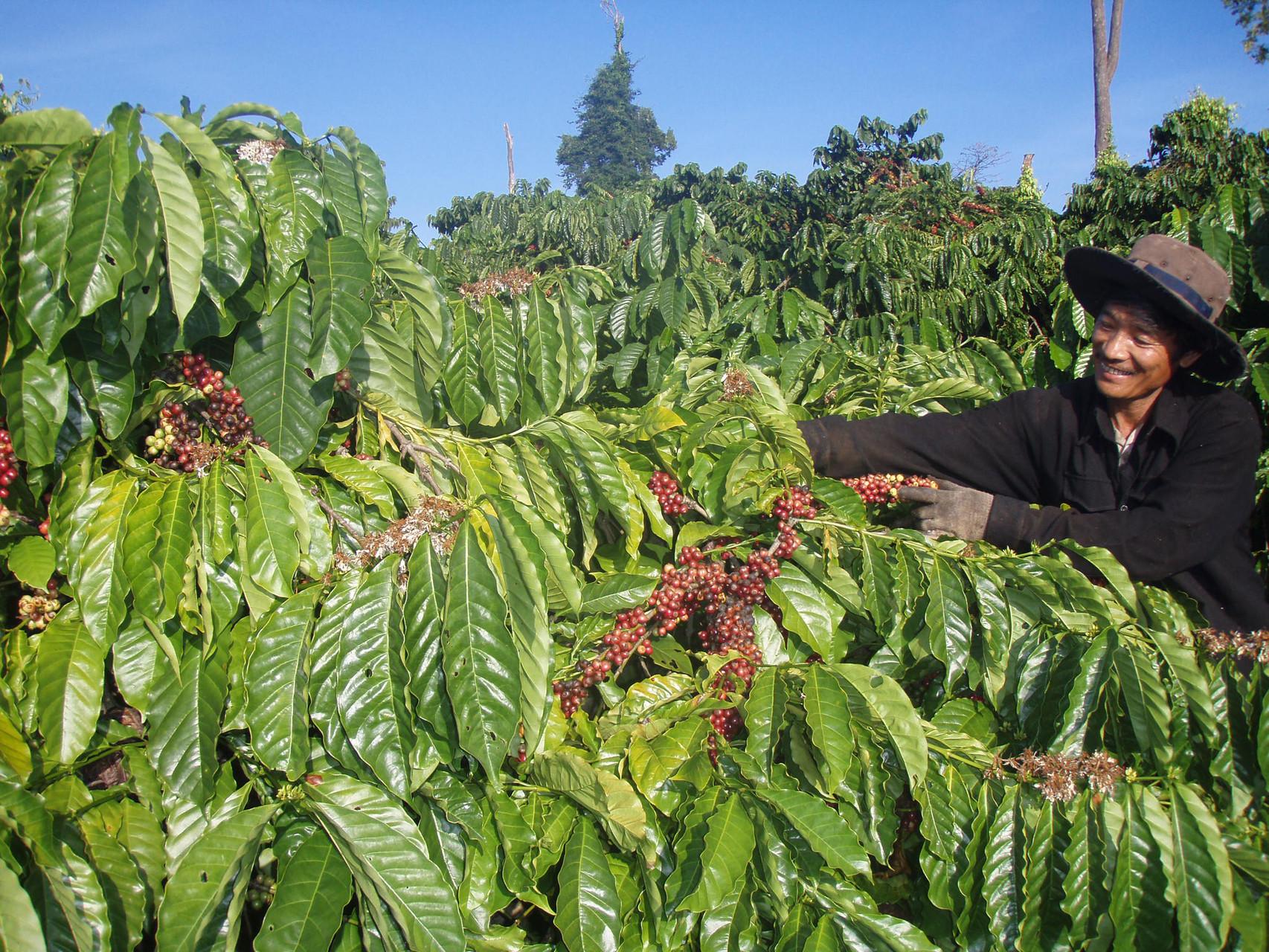 coffeee farm in daklak
