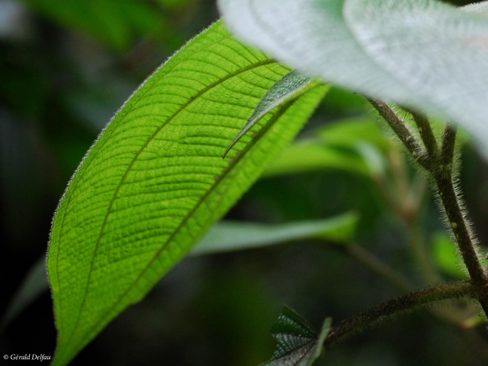 Végétation tropical, Basse-Terre, Guadeloupe