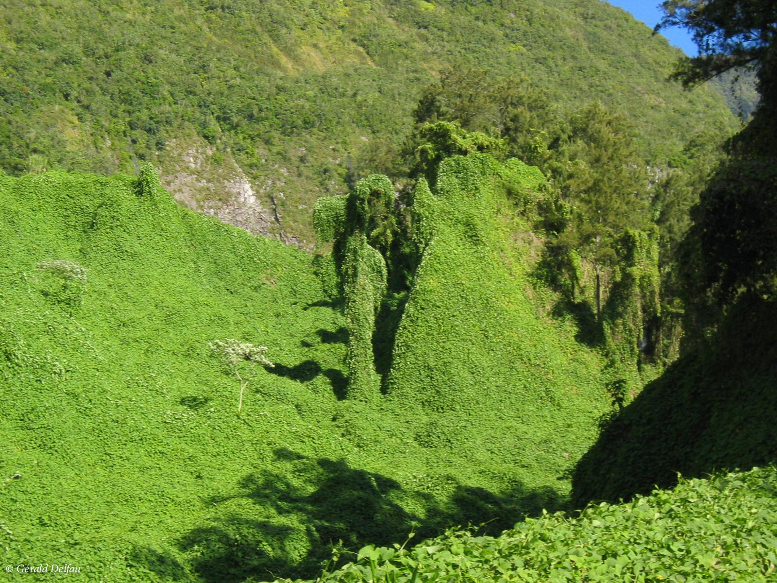 Végétation luxuriante recouvrant les roches de l'Ile de la Réunion