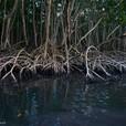 Palétuviers rouges de la mangrove en Guadeloupe
