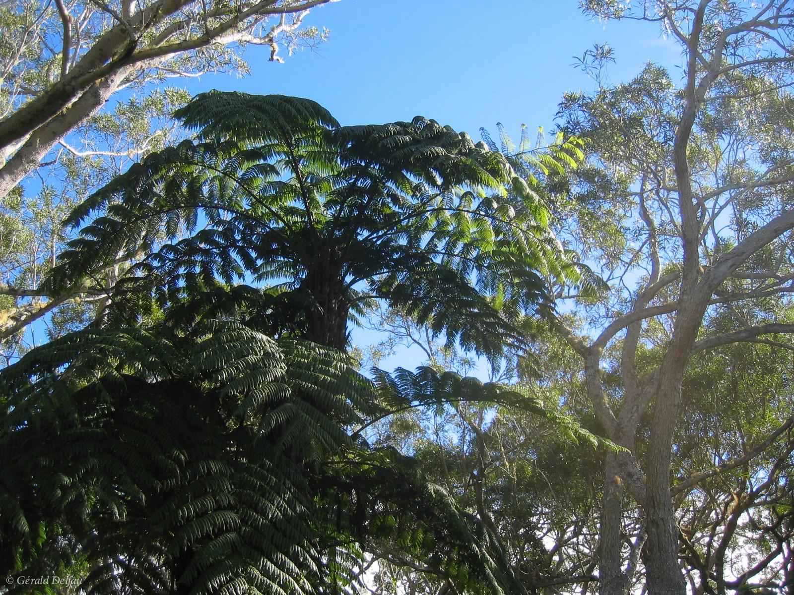 Fougère arborescente, Forêt de Bélouve, Ile de la Réunion
