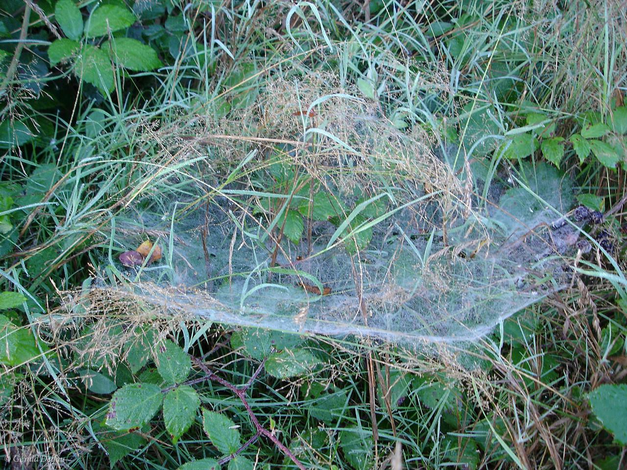 Toile d'araignée en forêt de Crécy, Seine-et-Marne