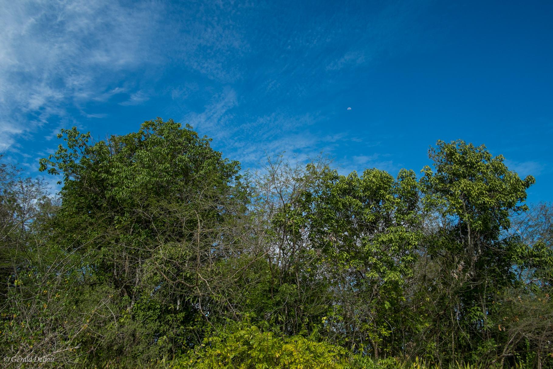 Végétation de la mangrove de Port-Louis, Guadeloupe