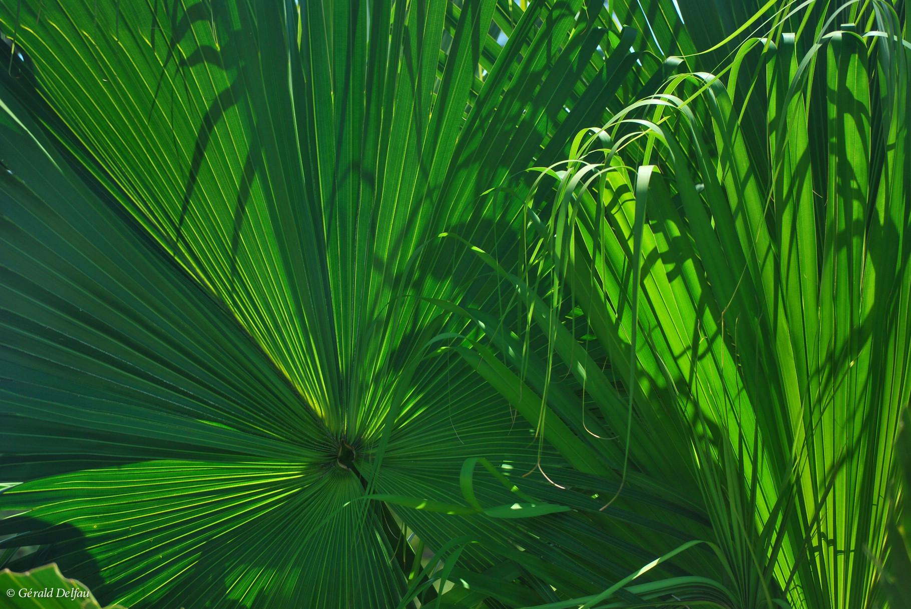 Feuilles de palmier à l'île Maurice