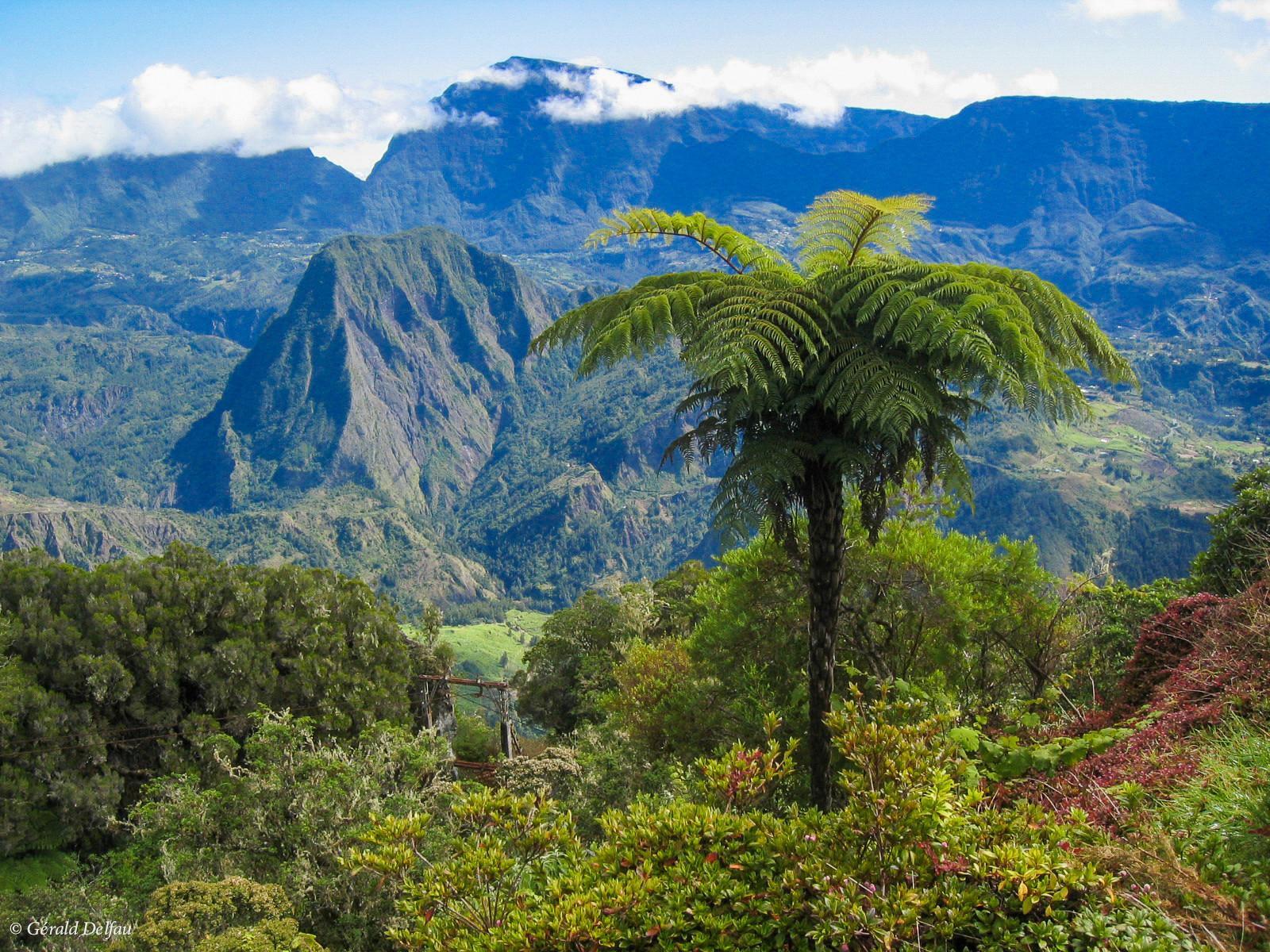 Fougère arborescente, Ile de la Réunion