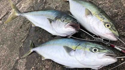 時合い突入で青物3連発 淡路島の釣り・ショアジギング