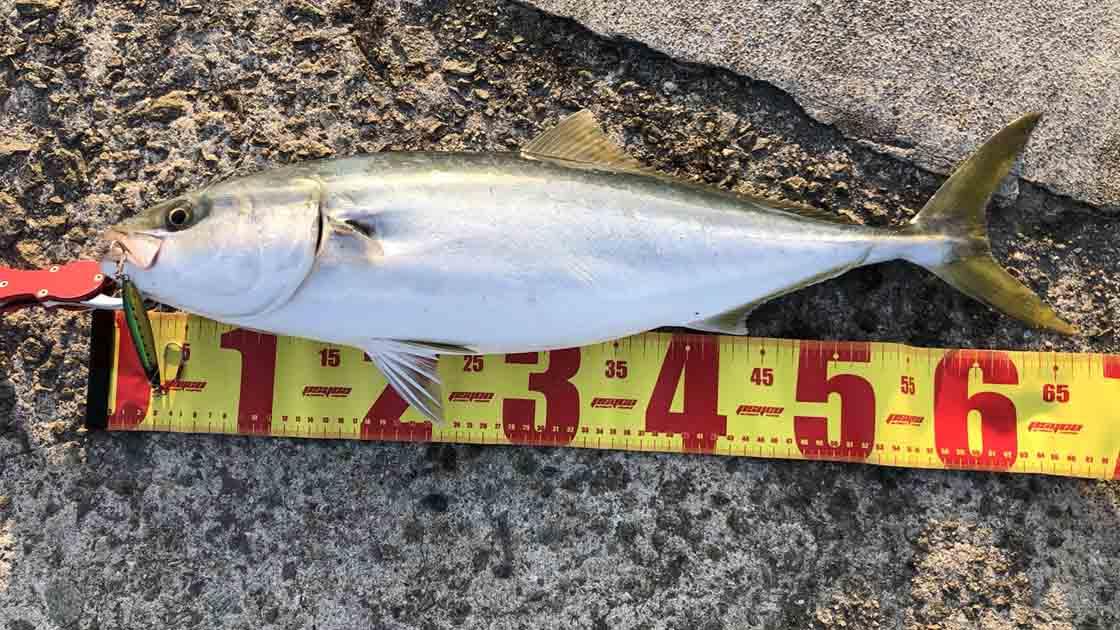 淡路島洲本港で青物メジロをショアジギングで釣った!