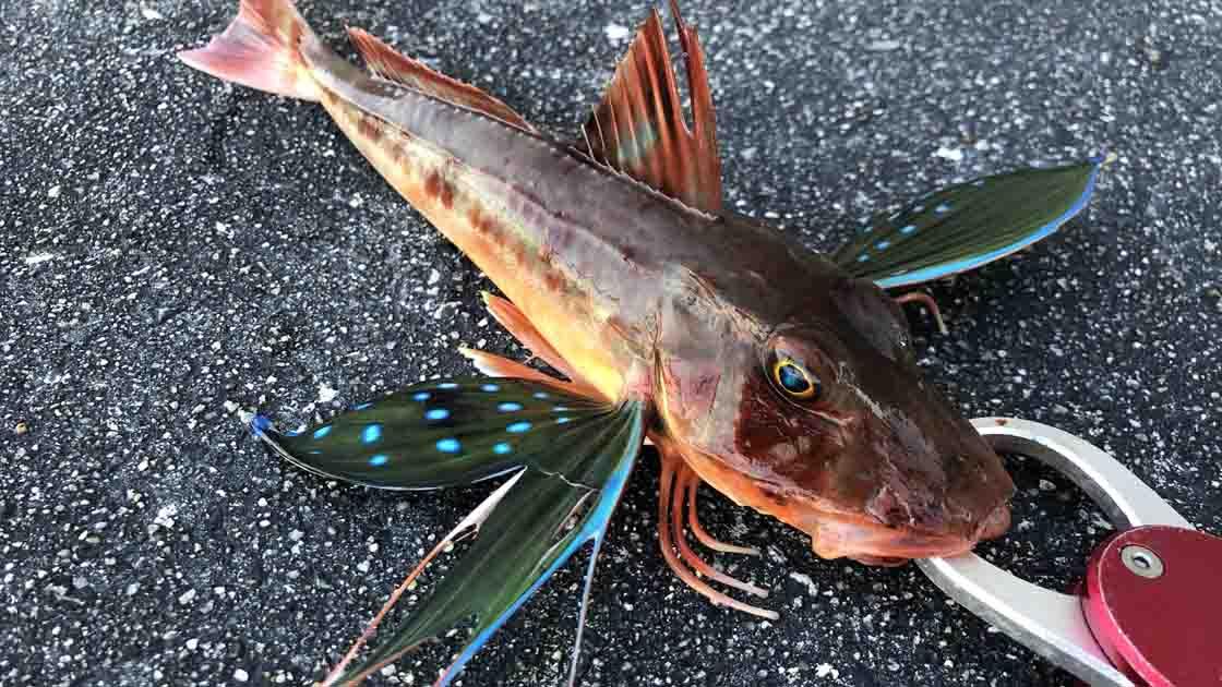淡路島丸山公園で青物ツバス好調 高級魚も釣れた!