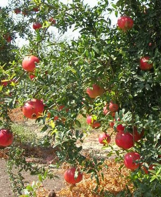 Der Granatapfel verfügt über besonders viele Polyphenole, welche für positive gesundheitliche Effekte verantwortlich sein können