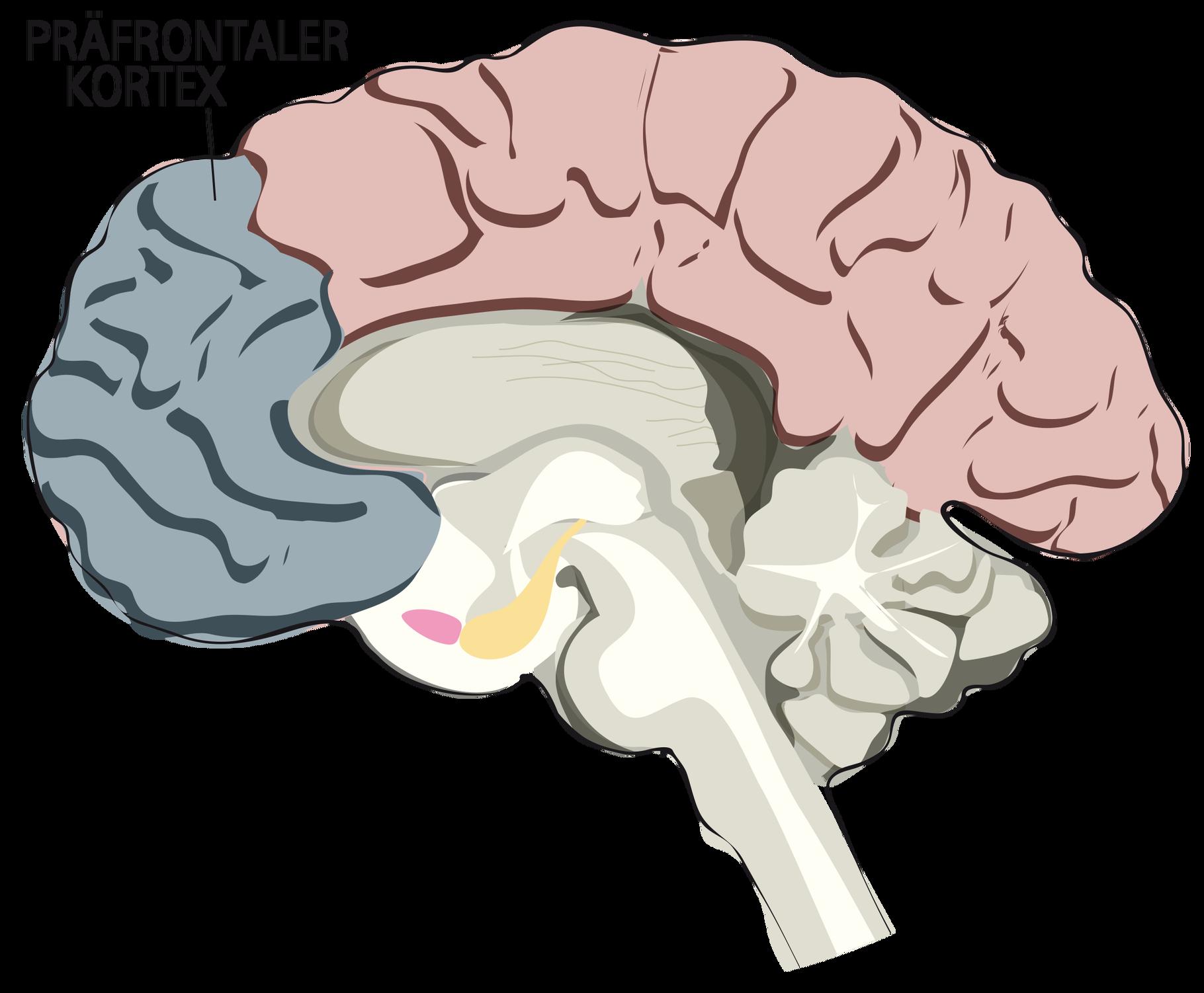Präfrontaler Cortex Trainieren