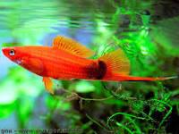 Un joli XIPHO dans l'aquarium.