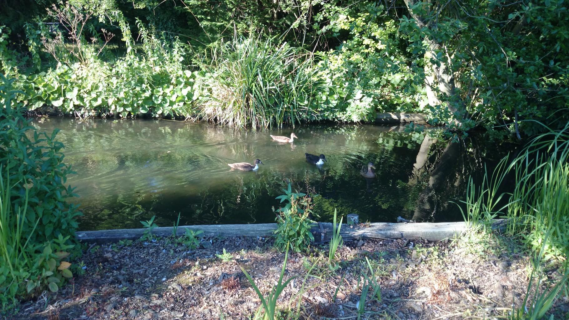 村のパプ、レッドライオンへ向かう道すがらにある小川にいる水鳥たち