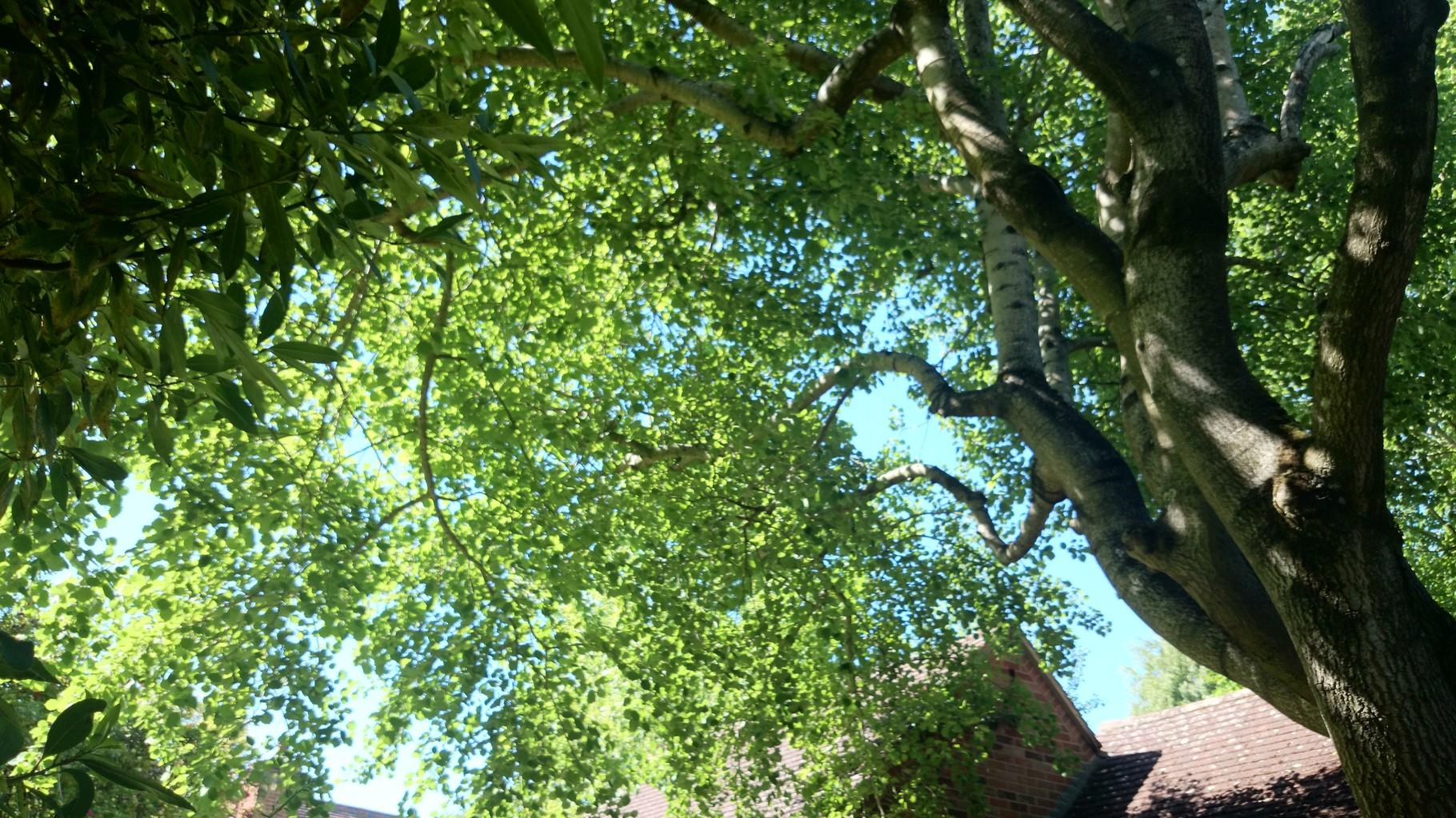 バッチセンターの中庭にあるアスペンの大木