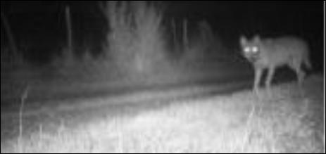 Lors de la dernière attaque qui s'est déroulée dans la nuit de mercredi à jeudi à Nully-Trémilly (Haute-Marne) un loup a été photographié
