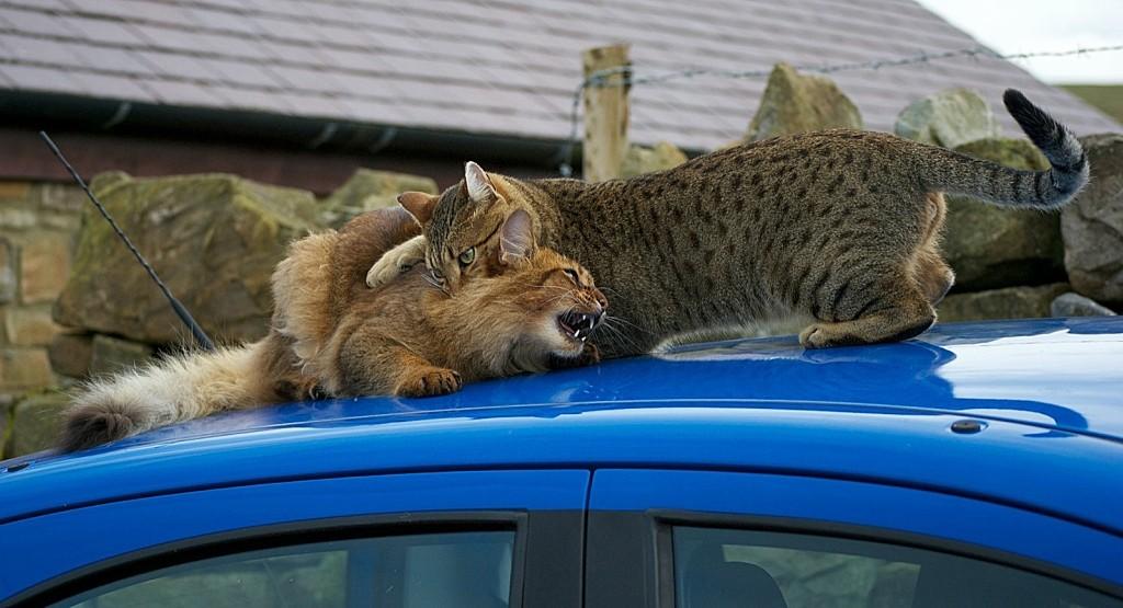 Коты породы сомали и египетский мау