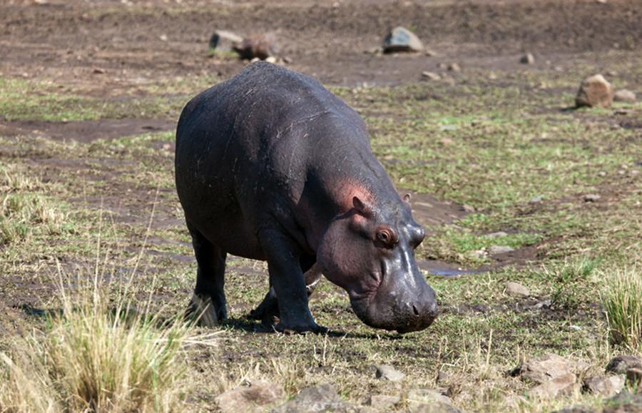 Бегемот Фотосафари в Кении