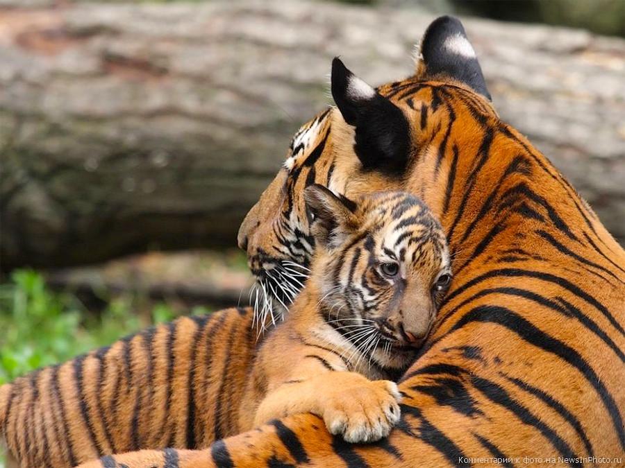 Животные, Природа тигр