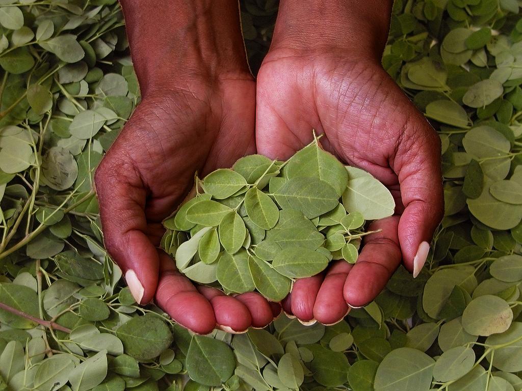 feuilles de moringa - vente de moringa en ligne 100% naturel santé au naturel culture biodynamique superaliment complément alimentaire linda vida