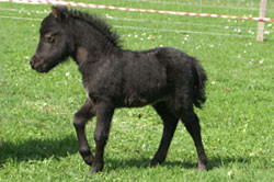 "Arura's Black Beauty ""Farah"""