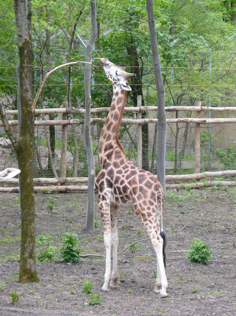 03/2011 neues Gehege mit Giraffen