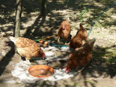 Sommerbad im Hühnergarten