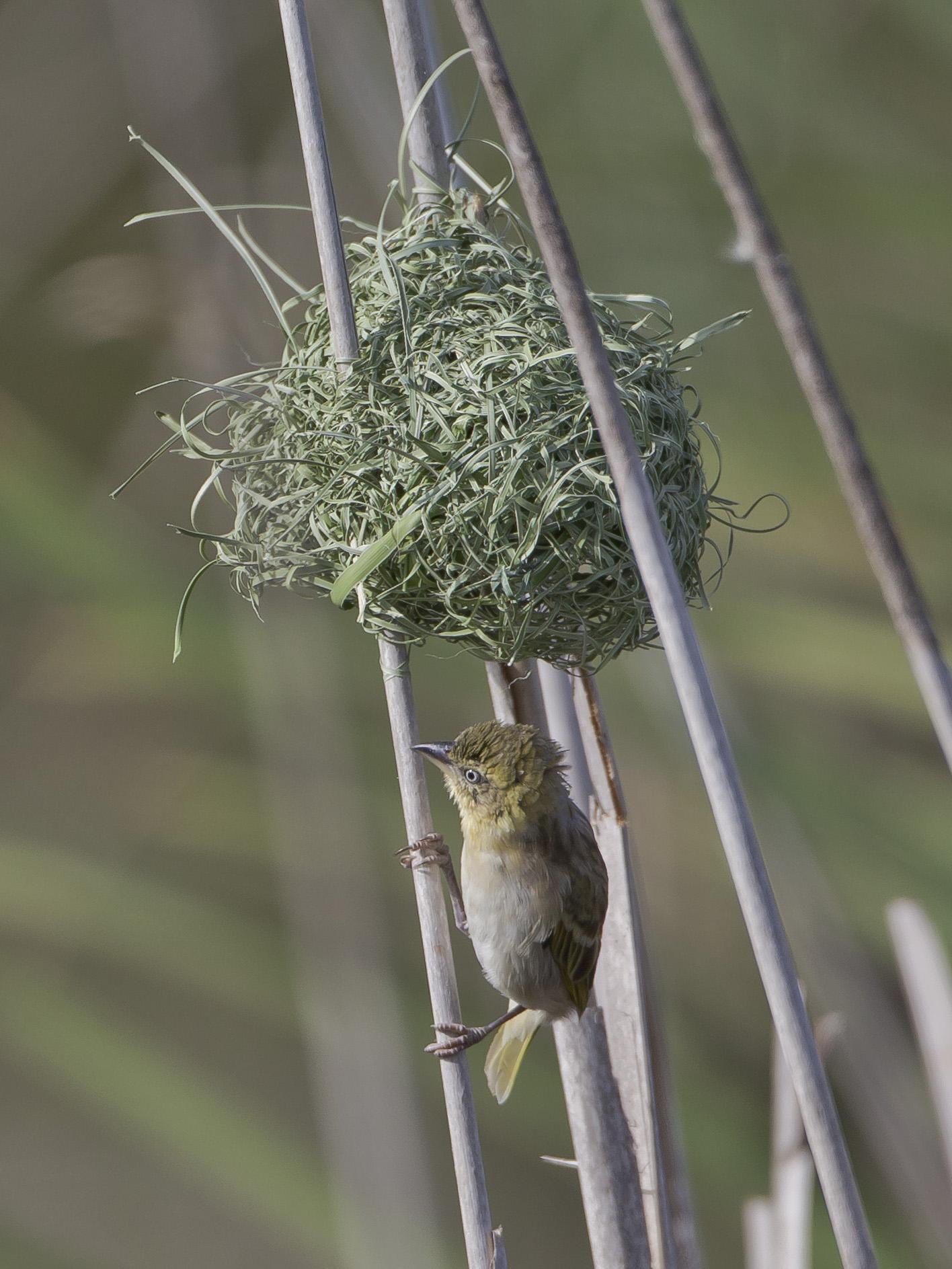 Das Männchen muss das Weibchen ans Nest locken, solange das Nest noch frisch ist und ein sattes Grün aufweist ...