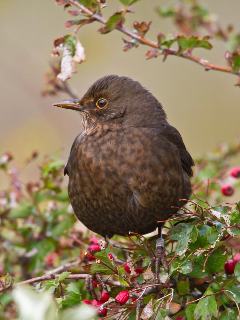 Die häufigsten Vögel auf Helgoland - nebst Amseln - sind...
