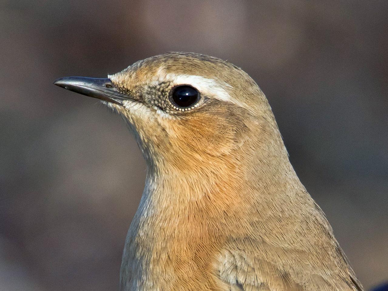 Ein häufig rastender Zugvogel auf Helgoland: Steinschmätzer