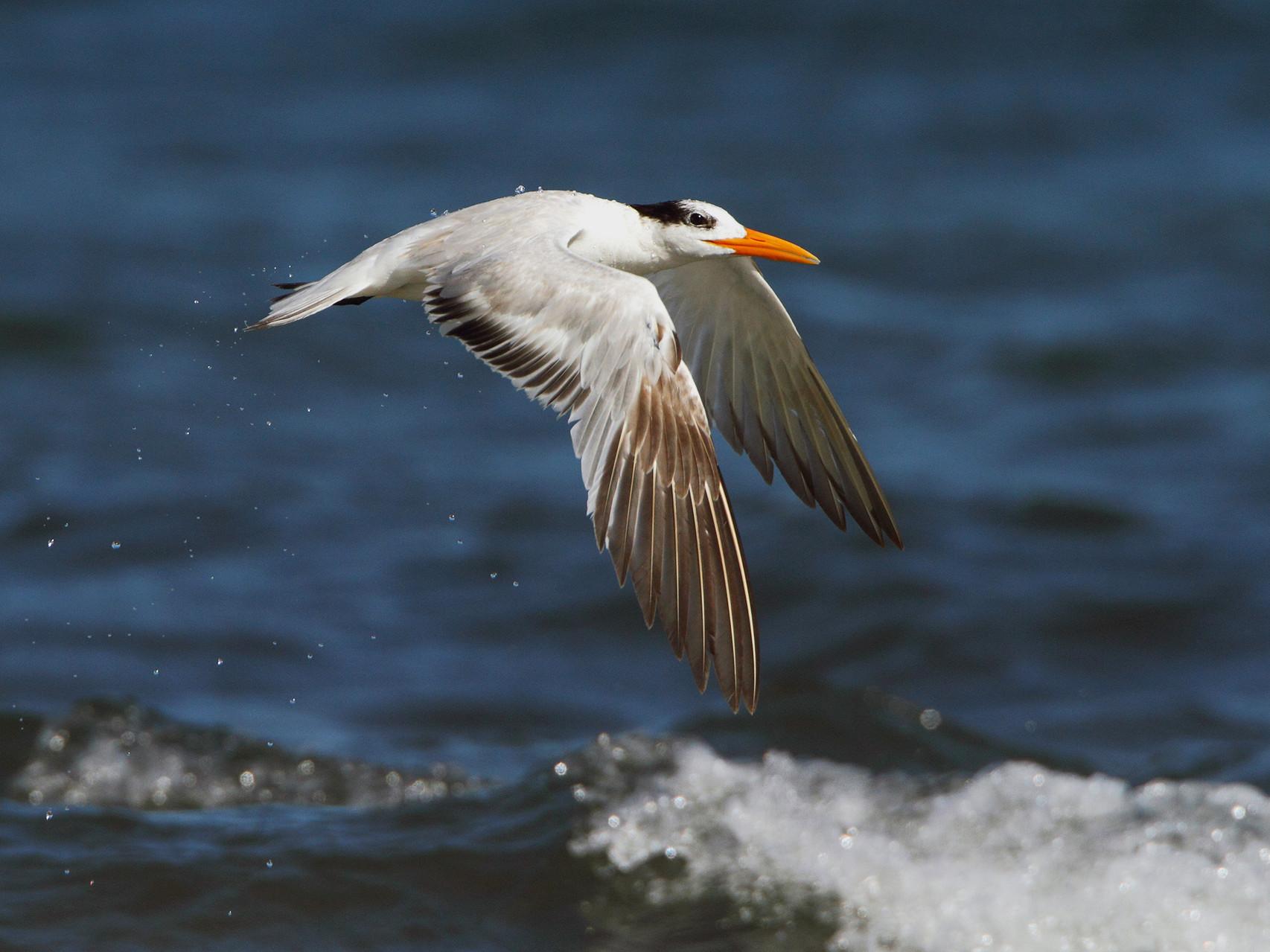Königsseeschwalbe, Tamarindo, Costa Rica
