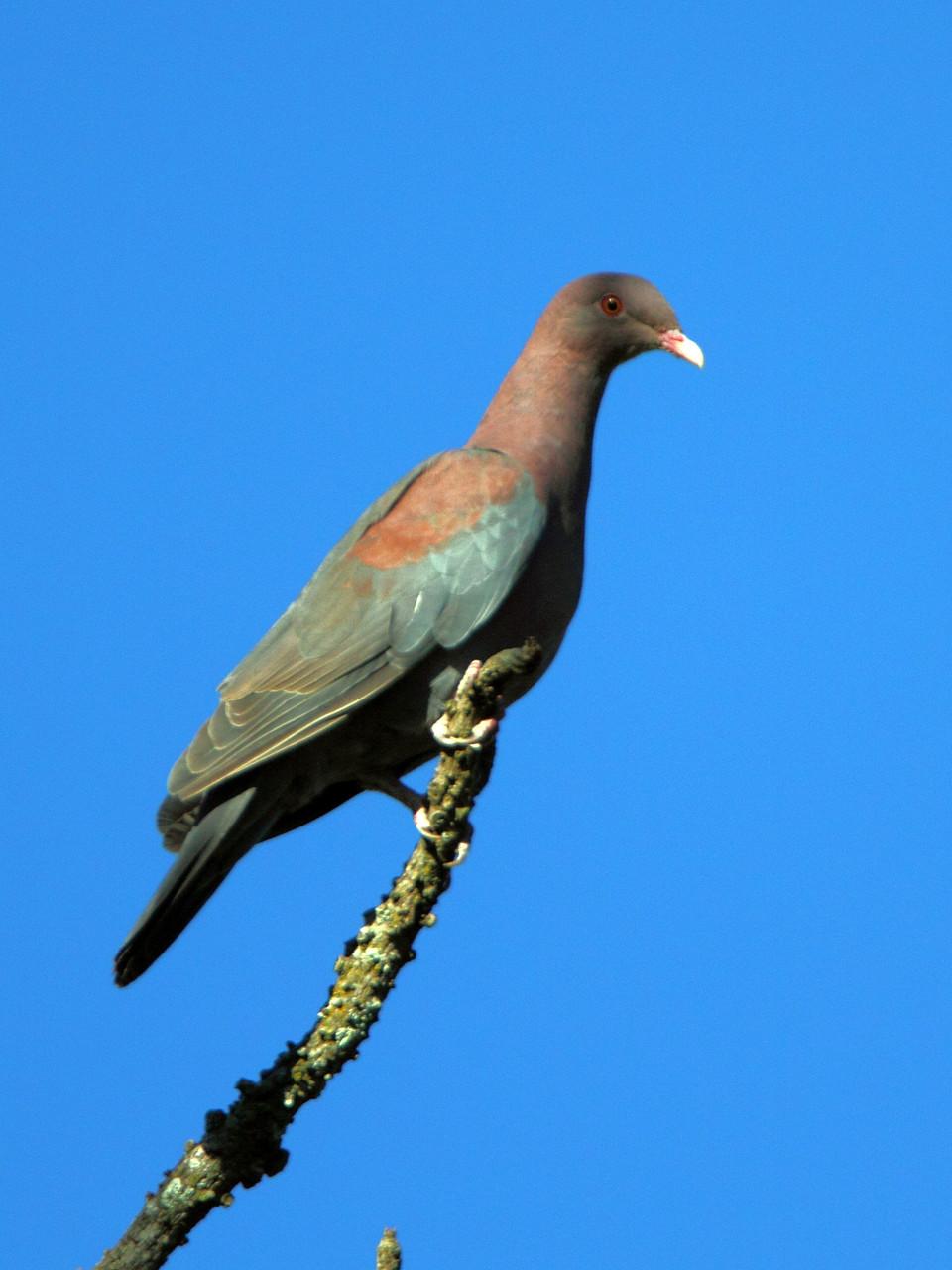 Erste Begegnung mit Costa Ricas Vogelwelt: Rotschnabeltaube...