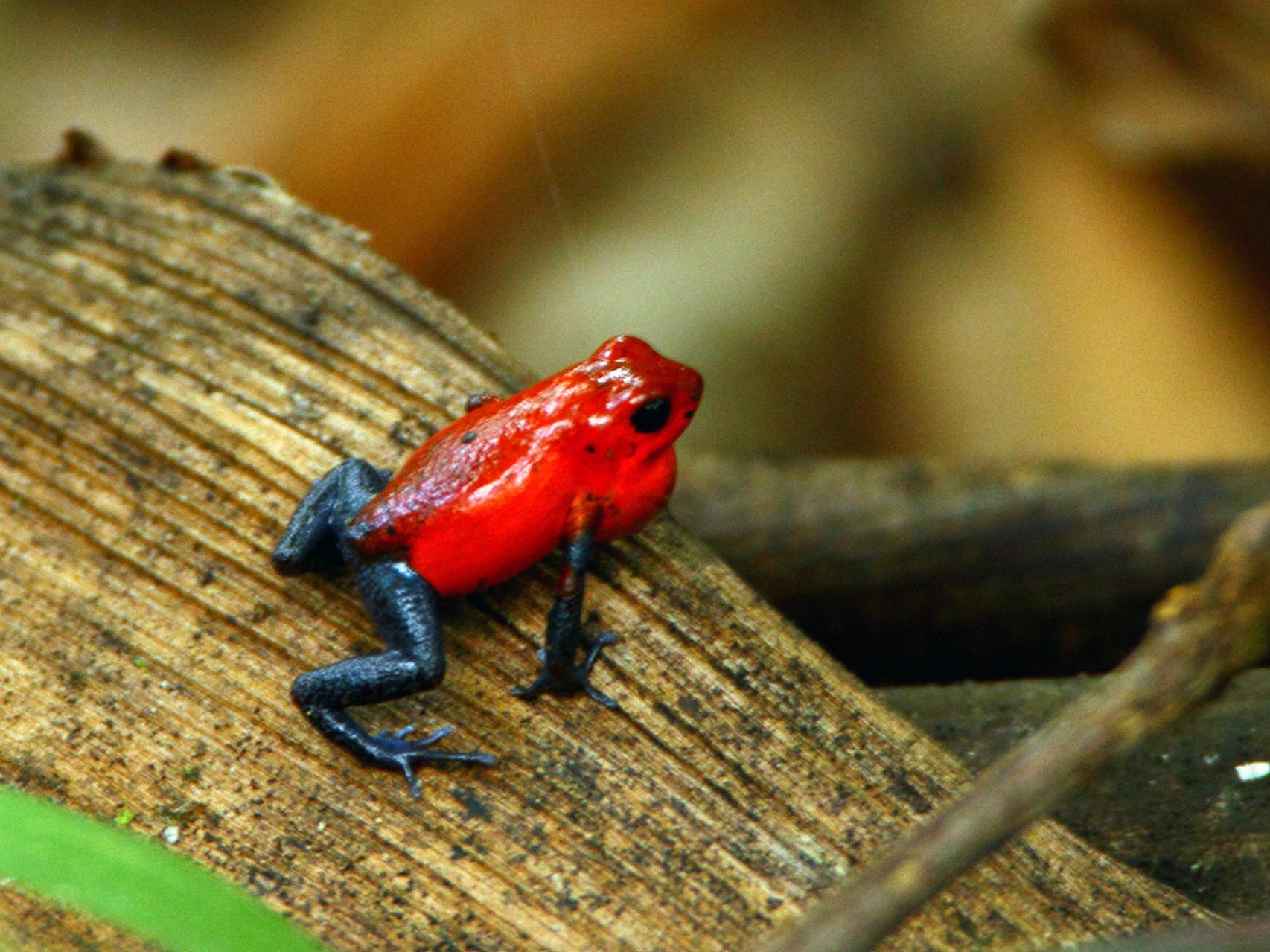Der giftigste Frosch Costa Ricas: der Erdbeerfrosch
