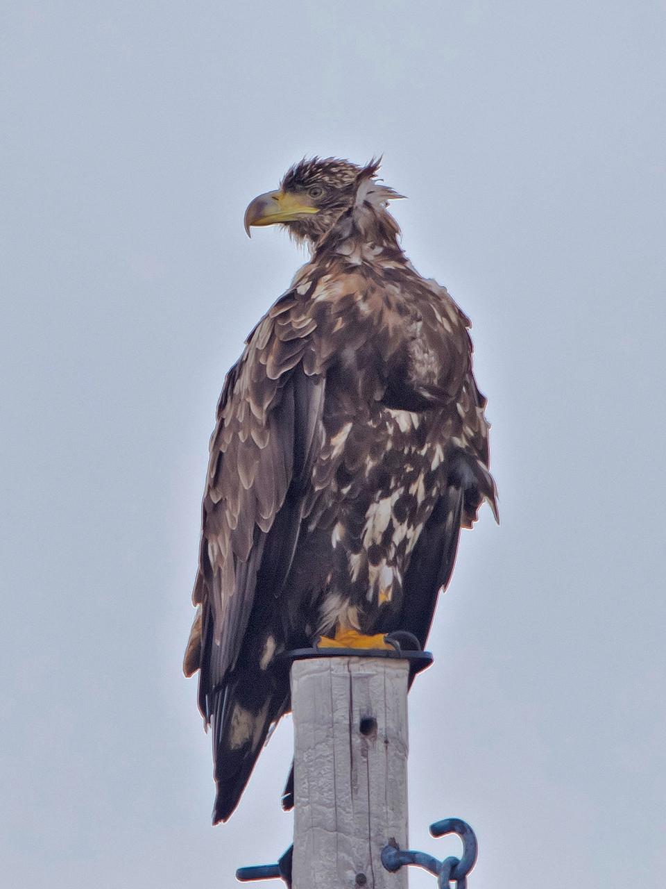 Junger Seeadler auf Strommast...