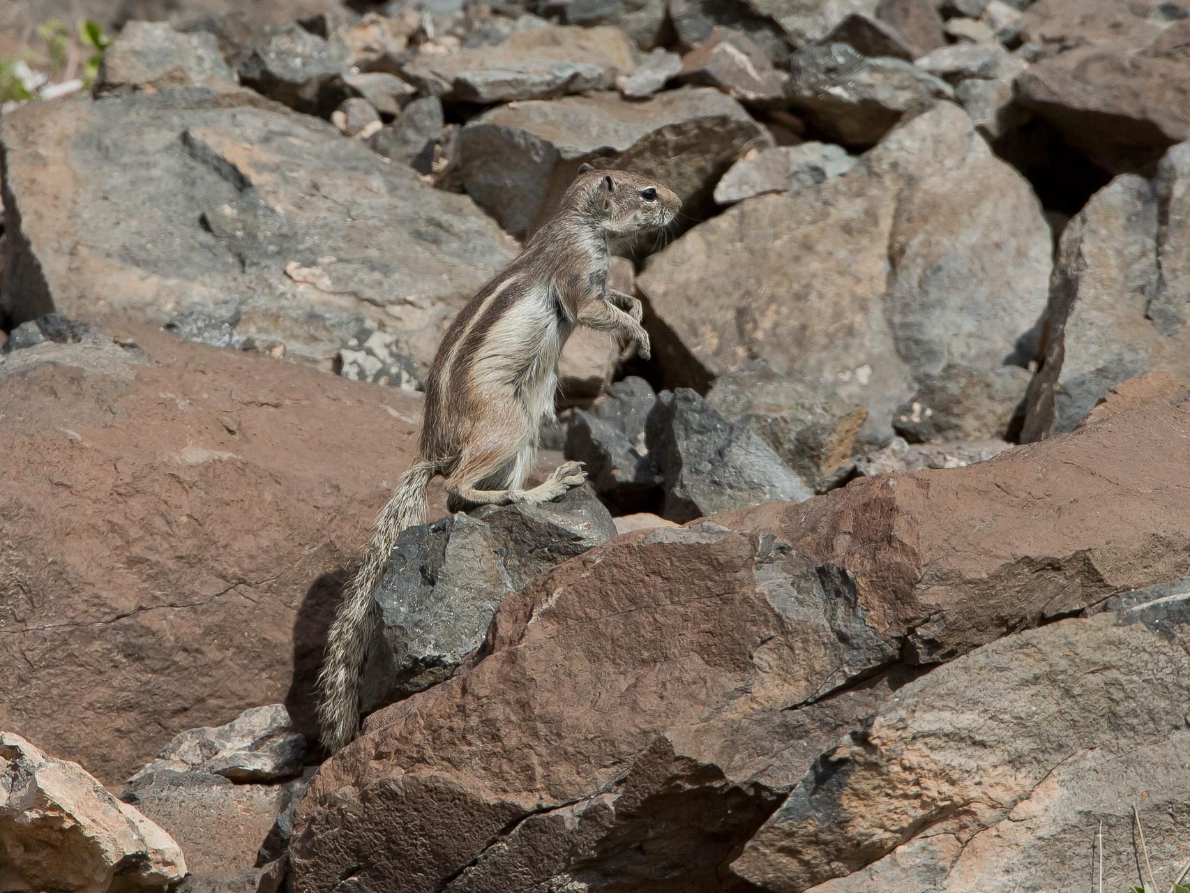 Sie stammen vom Atlasgebirge (Marokko) und wurden durch den Menschen auf Fuerteventura eingeführt