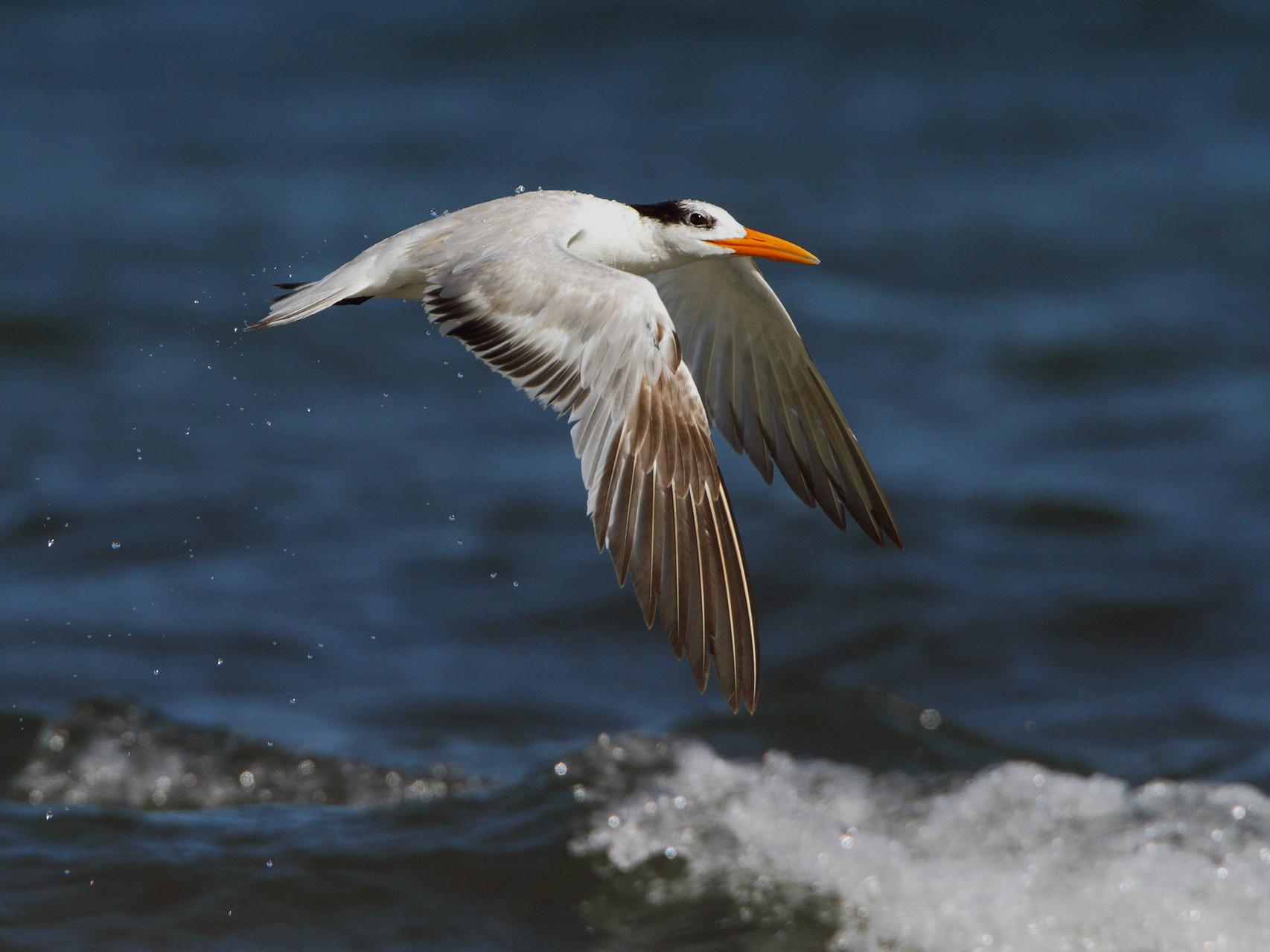 Königsseeschwalbe