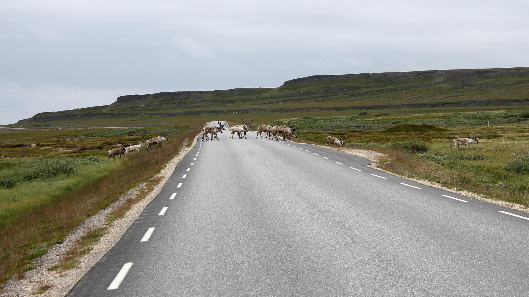 Eine Herde Rentiere überquert die Varanger-Hauptstrasse zwischen Skallelv und Komagvaer