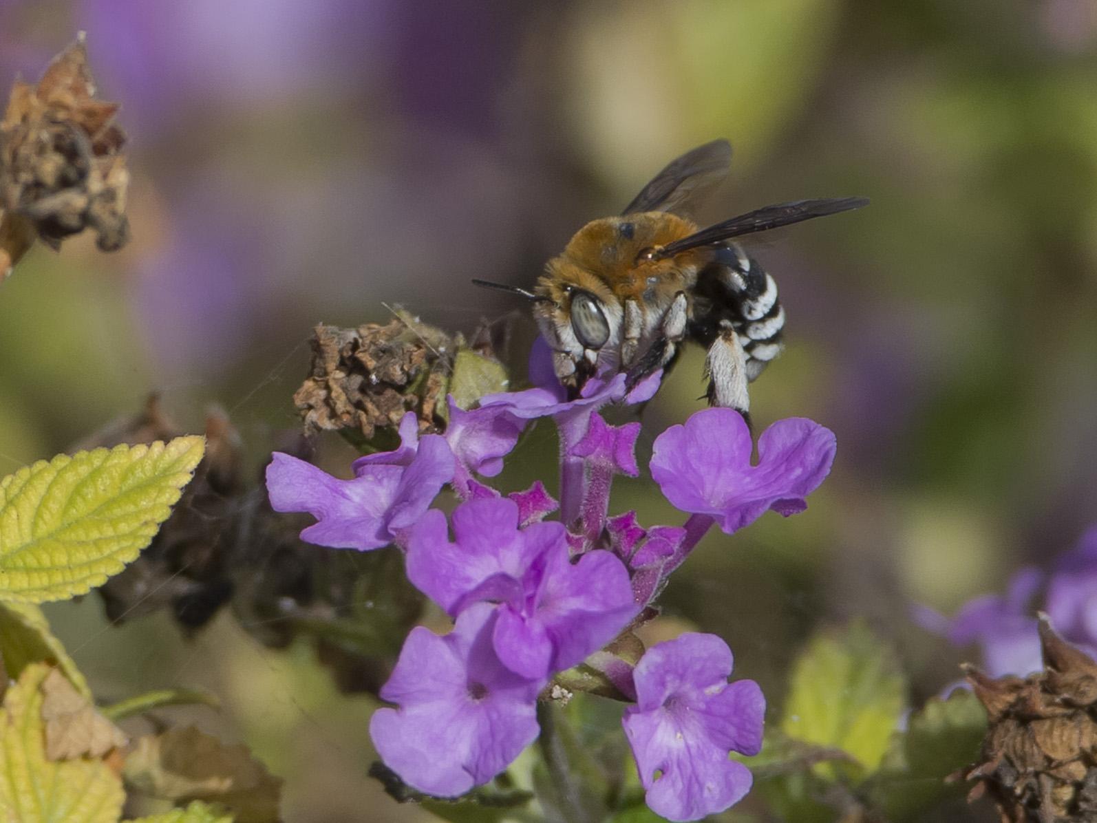 Auch exotisch wirkende Wildbienen sind am Nektar sammeln