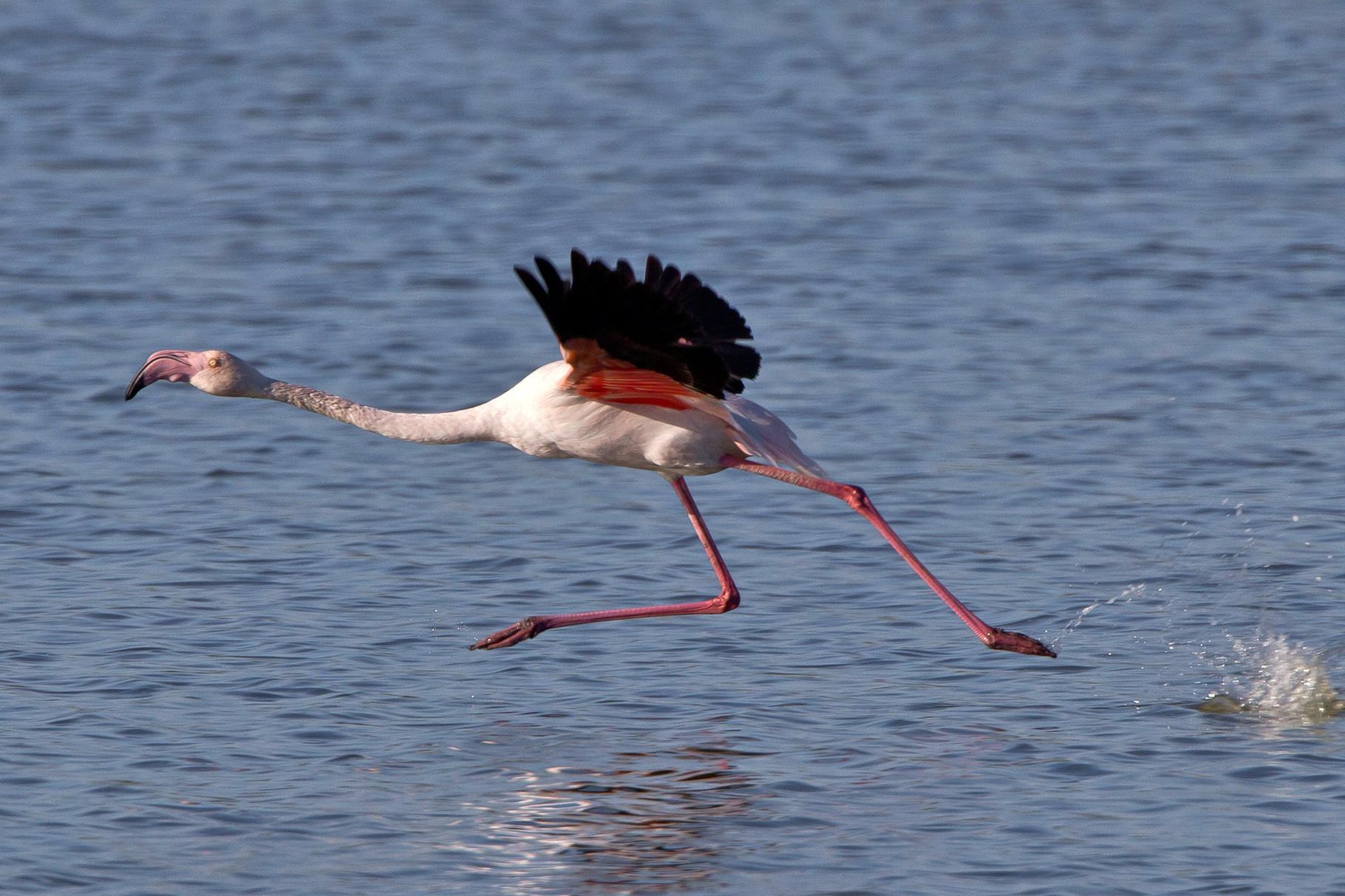"""Flamingos brauchen viel """"Anlauf"""" bevor sie sich in die Lüfte schwingen können"""