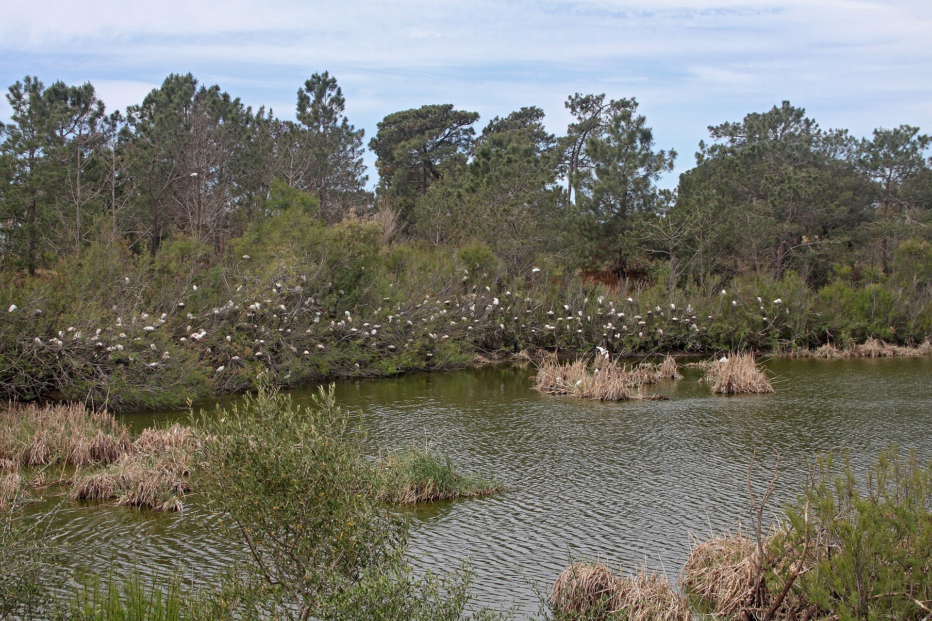 Kuhreiher-Kolonie im Ria Formosa-Schutzgebiet