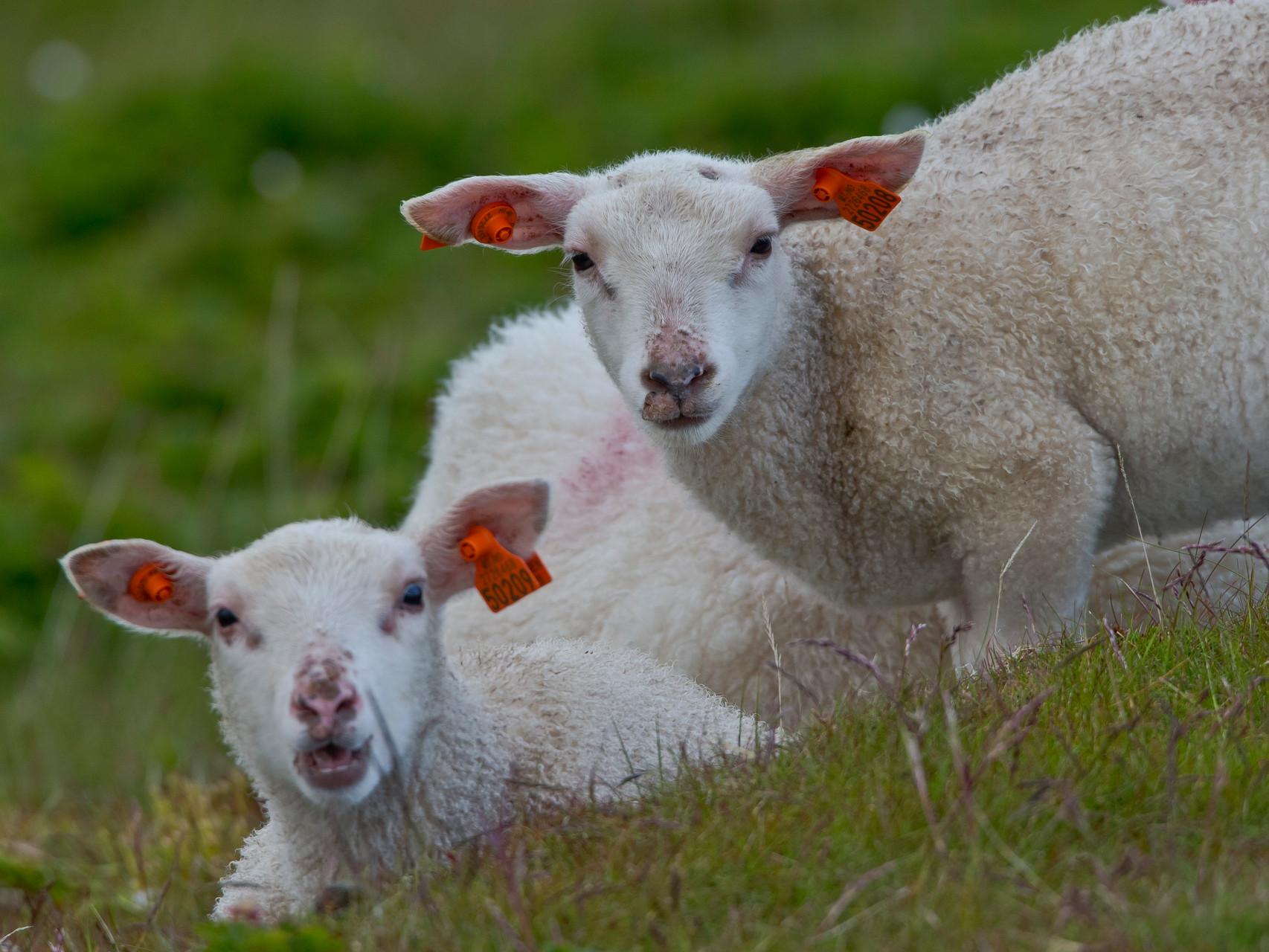 Schafe sind allgegenwärtig auf der Varanger-Halbinsel