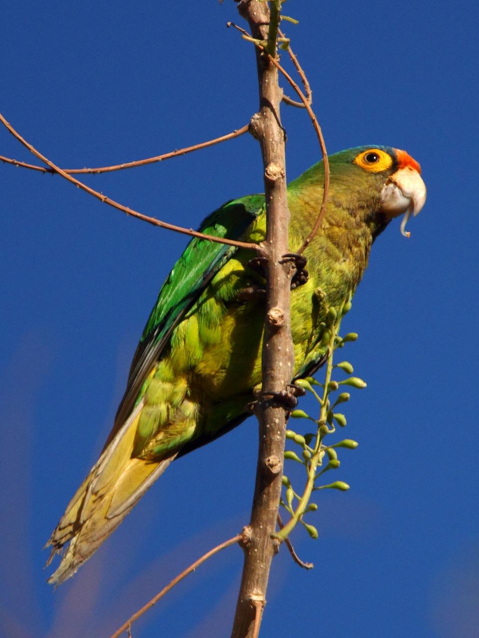Weitere Vogelentdeckungen in Tamarindo: Rotstirnamazone