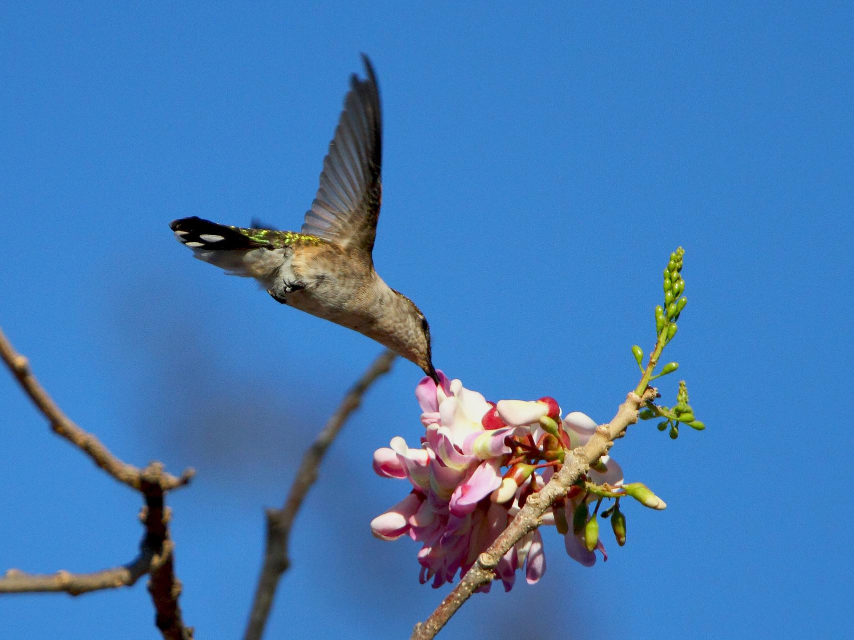 Kolibri im Blütenanflug