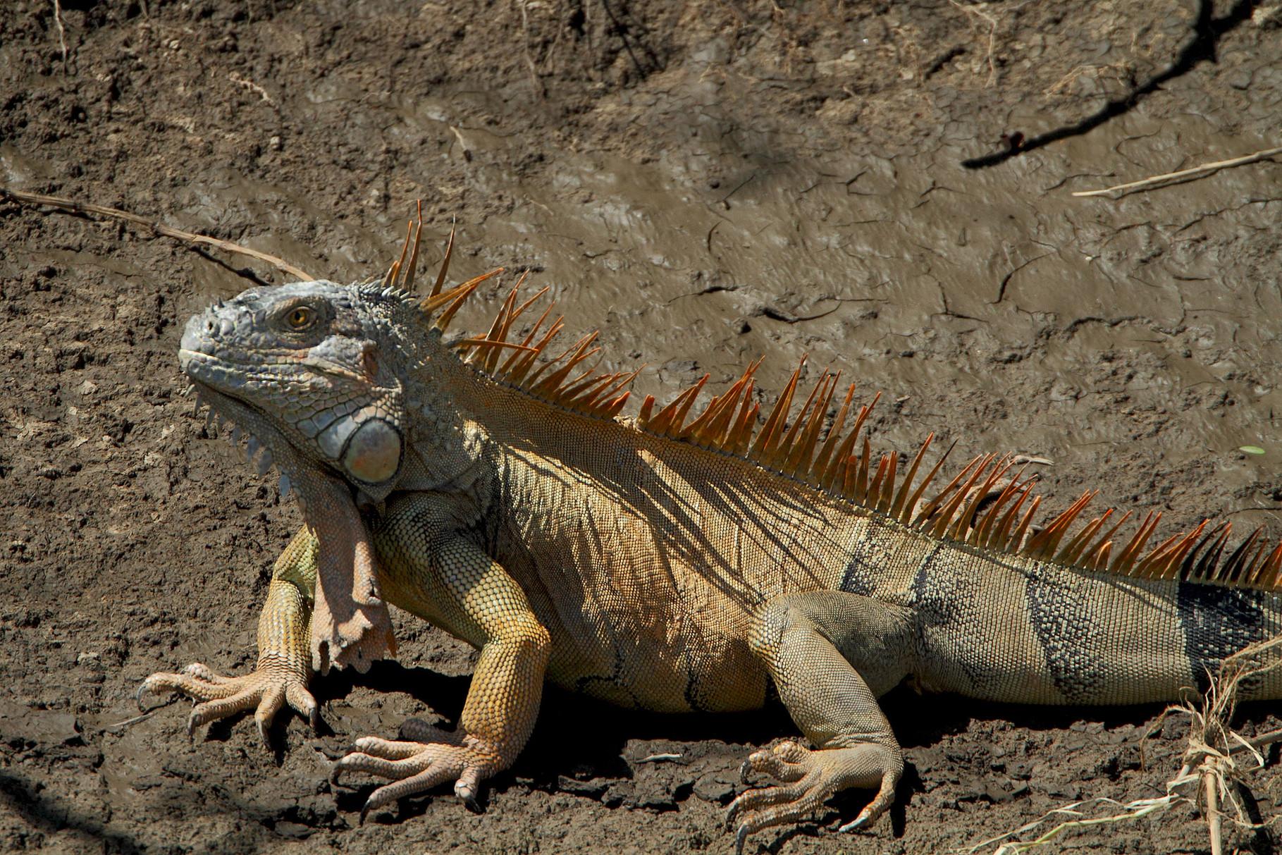 Überall präsent und variantenreich in den Farben: Leguane