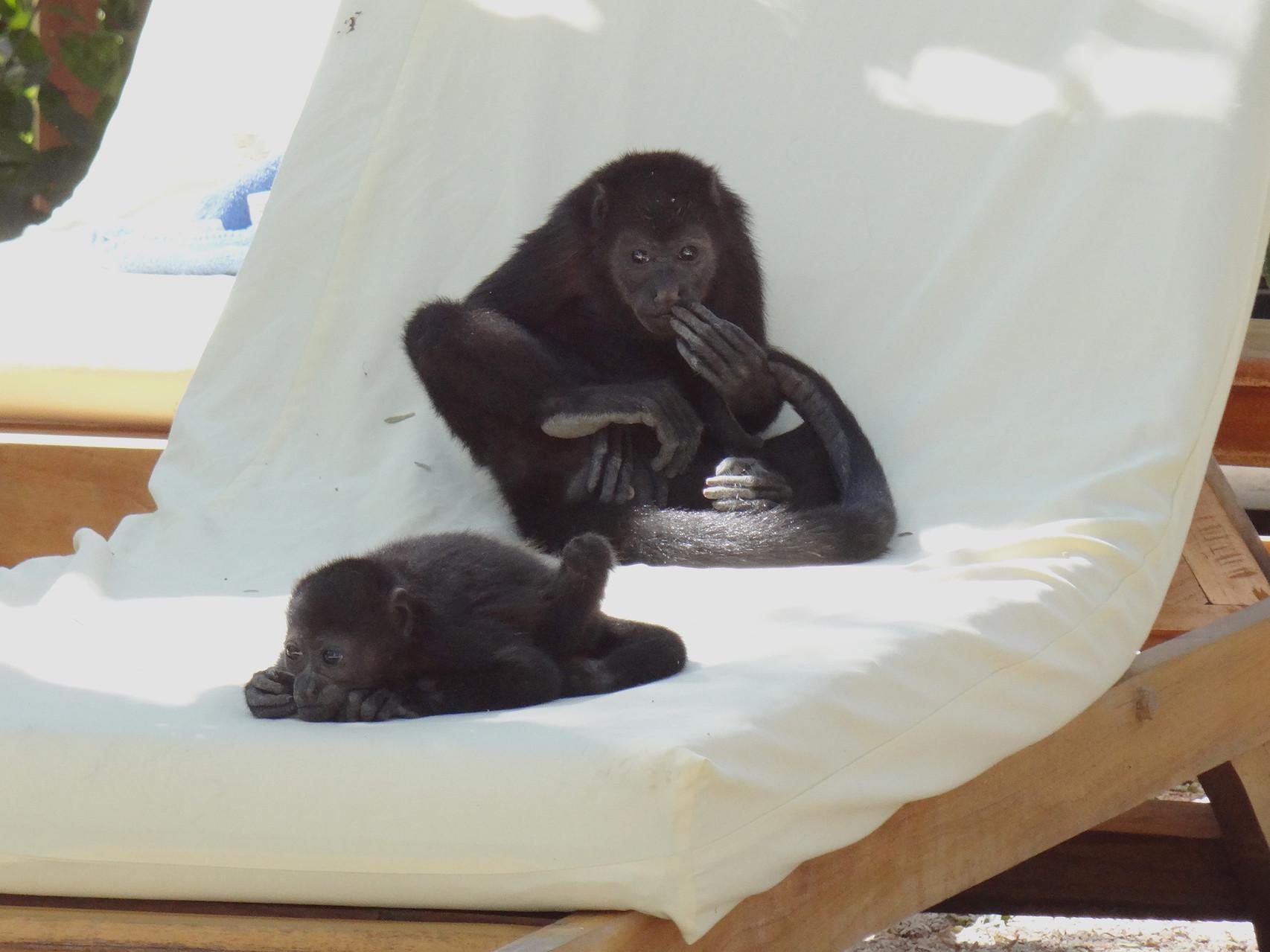 ...junge Brüllaffen auf unserem Liegestuhl