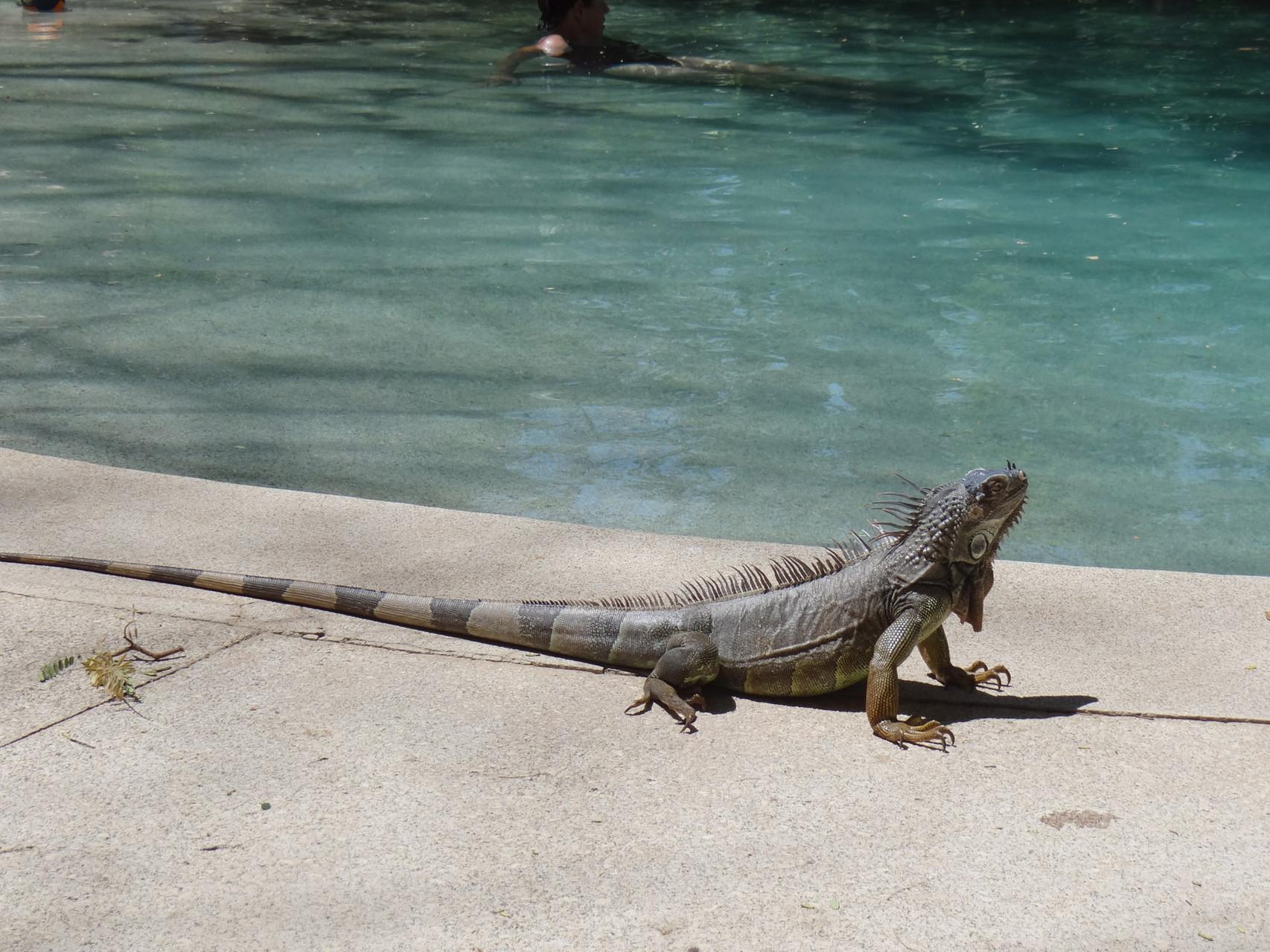 ...und Beobachten von Tieren: Leguan...